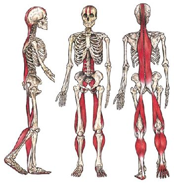 Muscoli antigravitari