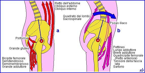 A sinistra retroversione di bacino, a destra antivresione, a carico soprattutto dei flessori d'anca.